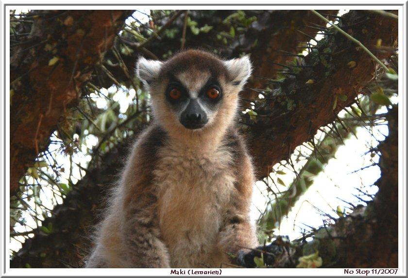 le Maki, emblème de Madagascar